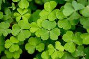 Il Trifoglio Irlandese - Magica Irlanda Mianotour